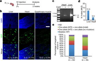 In vivo genome editing via CRISPR-Cas9 mediated homology-independent targeted integration