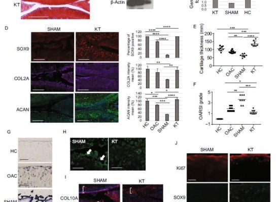 αKLOTHO and sTGFβR2 treatment counteract the osteoarthritic phenotype developed in a rat model